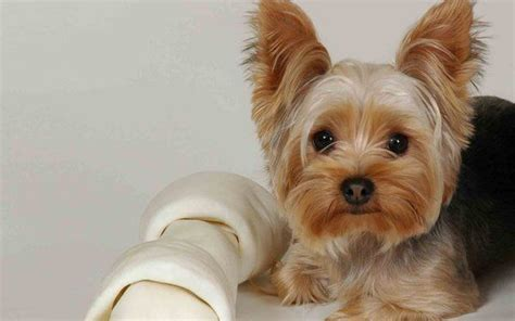 what is the average lifespan of a yorkie terrier pet insurance compare plans prices