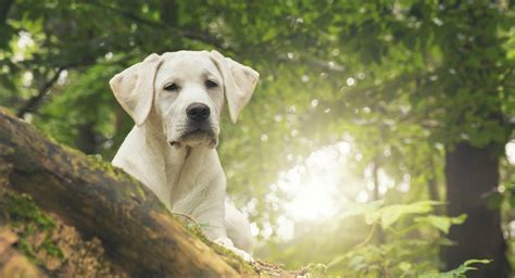 what foods are toxic to dogs toxic to labradors