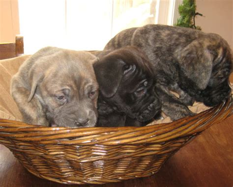 italian mastiff puppies for sale bull mastiff puppies for sale in breeds picture