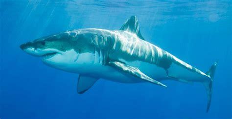 imagenes impresionantes de tiburones imagenes de tiburones blancos im 225 genes y fotos