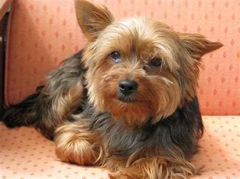 liver disease in yorkies terrier facts and information viovet