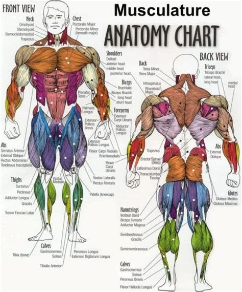 diagram back muscles muscles diagrams diagram of muscles and anatomy charts