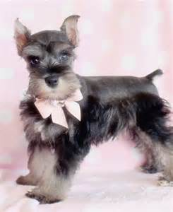 miniature schnauzer puppies ohio pretty miniature schnauzer puppy mini schnauzer miniature puppy