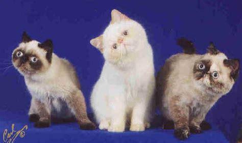 gatti persiani a pelo corto razze gatti
