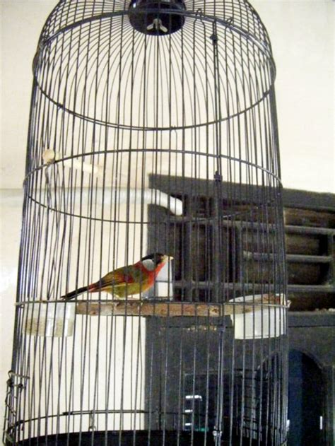 Pancawarna Cerah pancawarna burung menawan untuk masteran murai batu