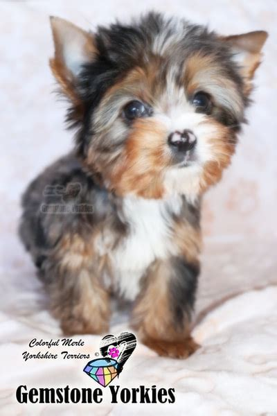 akc teacup yorkies rare chocolate with platinum blonde merle yorkies blue merle yorkie puppies for sale colorful