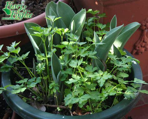 bulbi di tulipano in vaso tulipani piantiamoli in vaso con il prezzemolo fiori e