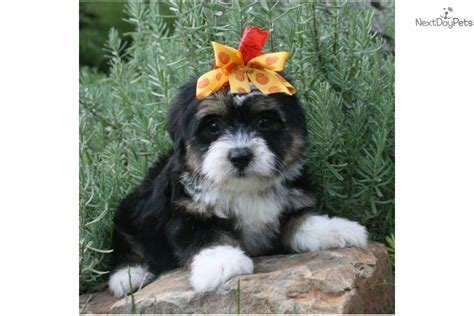 tri color havanese havanese puppy for sale near louisiana e51d4338 0e01