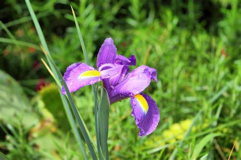 file iris plant img 8525 1725 jpg wikimedia commons