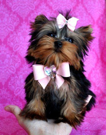 dollar yorkie best 25 micro teacup dogs ideas on teacup dogs teacup breeds and