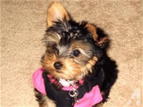 teacup yorkie for sale in south carolina teacup yorkie puppies for adoption for sale in greenville south carolina