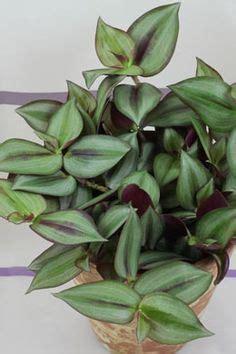 Tanaman Hias Calathea Zebrina tanaman tradescantia tanaman hias daun