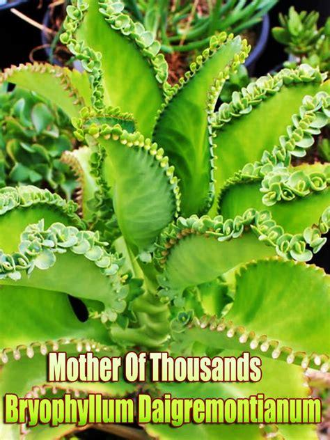 mother of thousands bryophyllum daigremontianum quiet corner