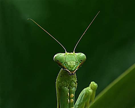 Praying Mantis L by Inside The Entomology Lab Praying Mantis On