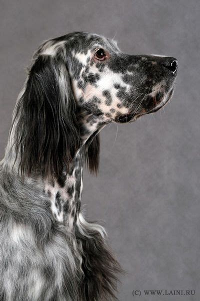 bench setter 44 best llewellin setters images on pinterest