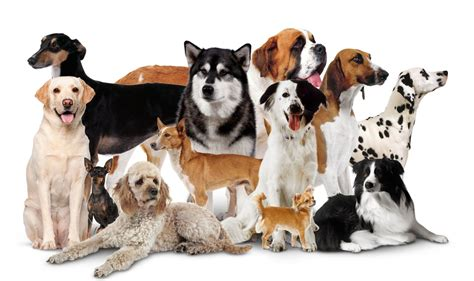 different breeds of puppies domestic dogs different types of dogs dk find out