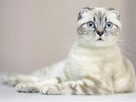 Mycybertwin Chats For You The Human Race Becomes Unneccessary by Scottish Folds Of Calgary Scottish Fold