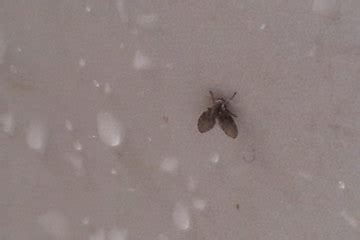 Small Flies In Bathroom How To Get Rid Of Flies Drain Flies Are Small Flies Drain
