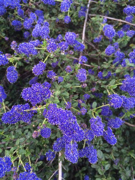 ceanothus midnight magic xera plants