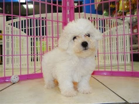 puppies for sale in jackson ms bichon frise funnydog tv