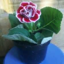 Pembatas Keranjang Silver tanaman walisongo variegata bibitbunga