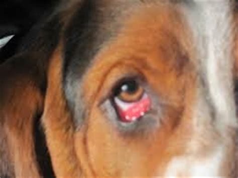 eye infections in dogs eye infections in dogs symptoms and treatment