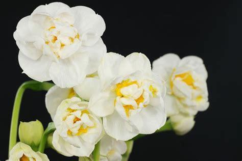 narciso fiore narciso narcissus bulbi caratteristiche narciso