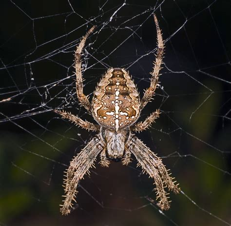 Garden Spider Wiki File Araneus Diadematus Mhnt Femelle Fronton Jpg