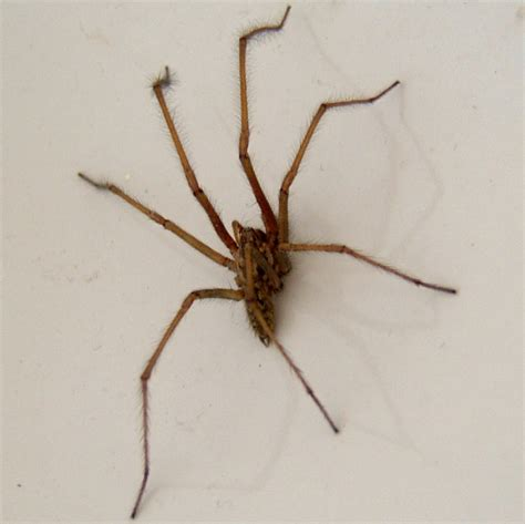 brown house spider house spider