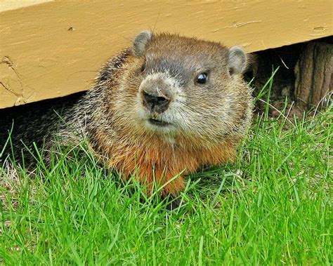 groundhog day in pa oscar the groundhog s predicts more winter plowable snow