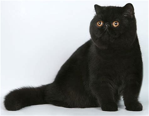 Beautiful Black Cat Breeds ? Purrfect Cat Breeds