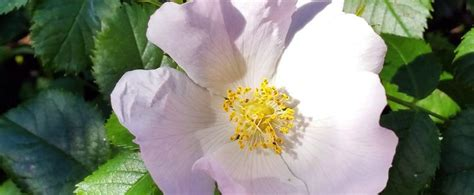 state flower of iowa iowa state flower wild rose proflowers blog
