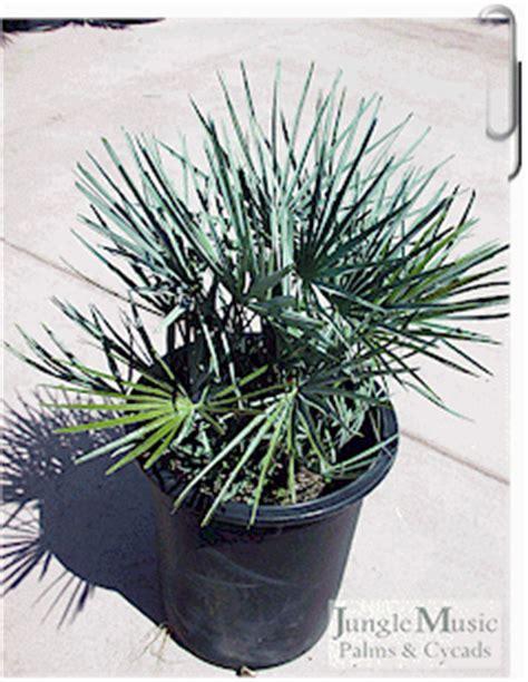 blue mediterranean fan palm for sale chamaerops humilis var cerifera blue mediterranean fan palm