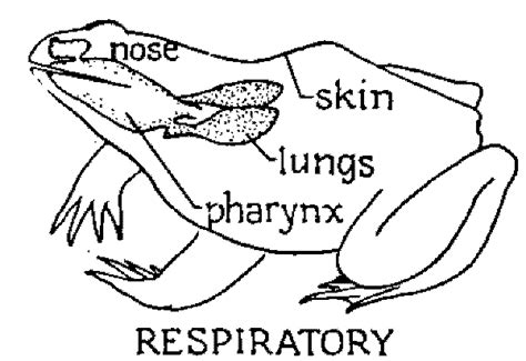 respiratory system of frog diagram 301 moved permanently