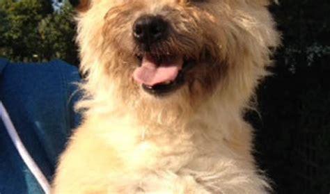 border terrier cross shih tzu colin 2 year shih tzu cross border terrier for adoption