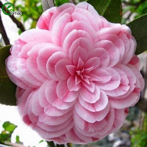 Sale White Camellia Impatiens buy wholesale impatiens seeds from china impatiens seeds wholesalers aliexpress