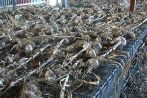 australian garlic growers want consumers to develop a