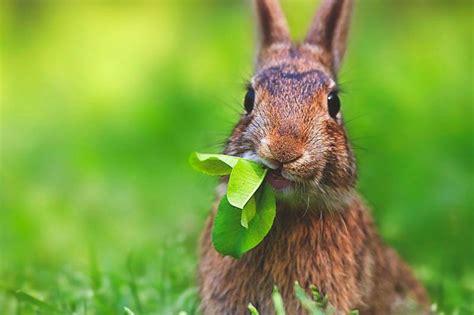 conejo de fuego 2016 191 qu 233 comen los conejos
