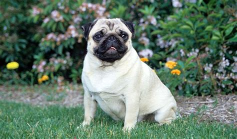 new pug breed pug breed information