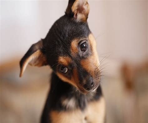 low blood sugar in puppies dogs may spot low blood sugar in diabetics