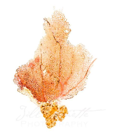sea fans for sale orange sea fan for sale at https society6 com