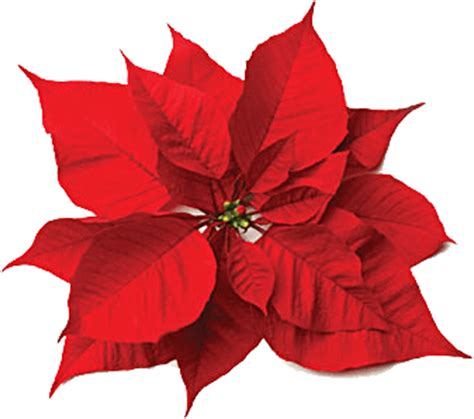 clear poinsetta holiday flower xmas lights flowers poinsettia and