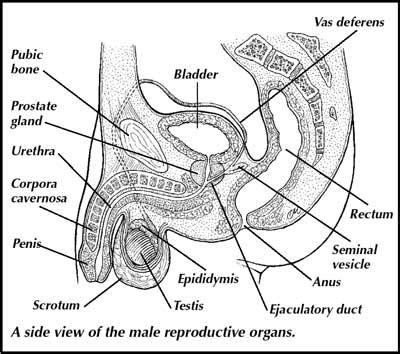 Retrieved from http://static.ddmcdn.com/gif/male-reproductive-system-1 ... Y Chromosome Sperm