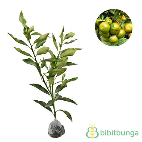 Benihbijibibit Buah Jeruk Tong Heng tanaman jeruk tongheng bibitbunga