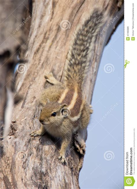 Indian Palm Squirrel On A Dead Tree Stock Image - Image ...