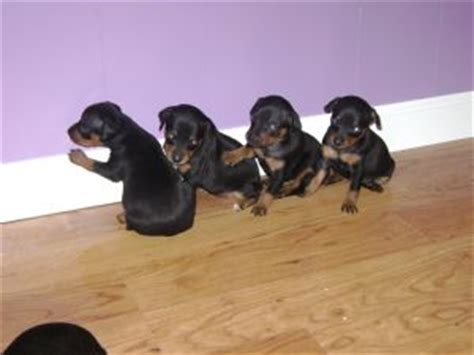min pin puppies for sale miniature pinscher puppies in ohio