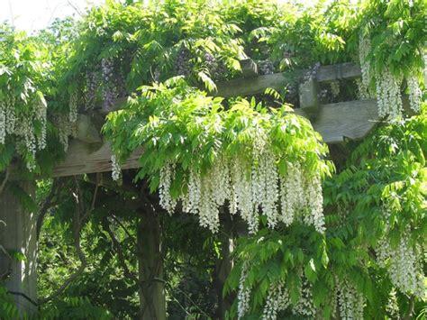 come far fiorire il glicine il glicine o wisperia un tocco di primavera e di amicizia