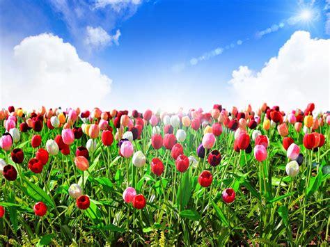 tulip feilds wallpaper beautiful tulip fields gallery wallpaper hd