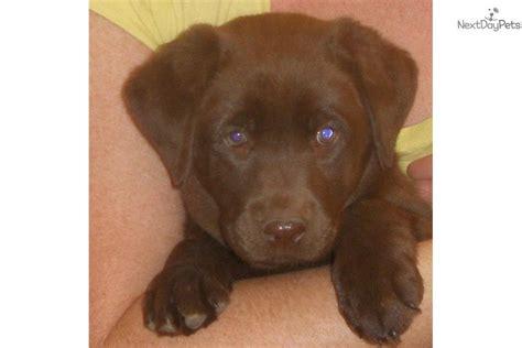 lab puppies denver colorado pink collar labrador retriever puppy for sale near denver colorado 18c93d11 dd61