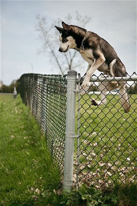 how to keep a puppy from at how to prevent dogs from jumping fence